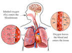 Lungs: Respiration and Oxygen Exchange