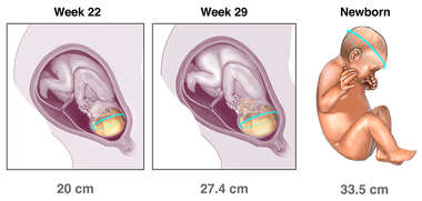 Measurements of Fetal Development