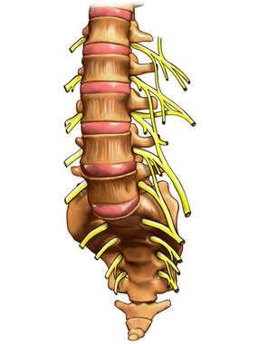 Lumbar Spine and Sacrum with Nerves, Anterior View