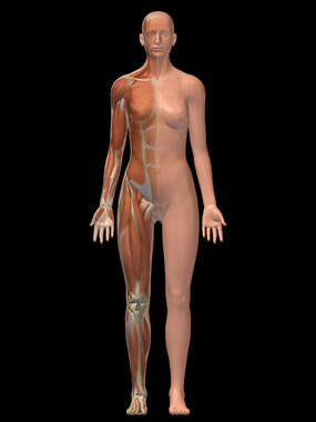 Anterior Female Figure with Musculature