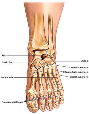 Anatomy of the Left Foot