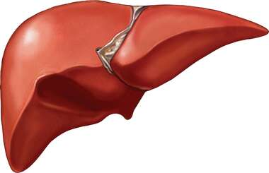 The Liver (Gall Bladder Removed)