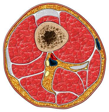 Thigh-Cross Section