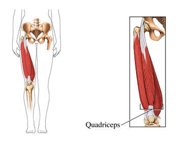 The Quadriceps Muscles