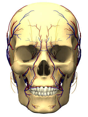 Cranial Nervous Supply and Vasculature