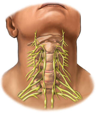 Anterior Cervical Spine and Nerves
