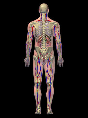 Anatomy of the Cardiovascular, Digestive, and Skeletal Systems, 3D Posterior Male-BW