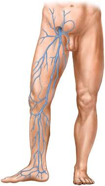 Legs with Venous Supply: Anterior View