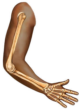 Arm, lateral view