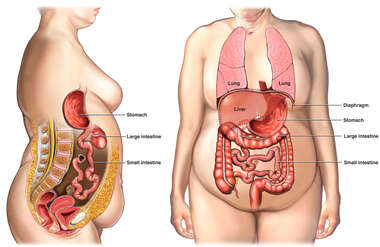 Anatomy of the Digestive System and Lungs