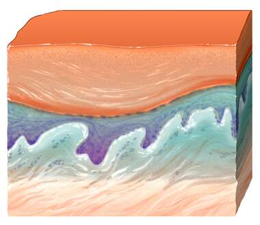 Skin Section, Normal