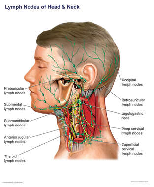 Lymph Nodes of the Head and Neck