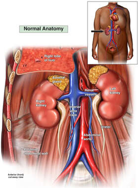 Anatomy of the Right Kidney