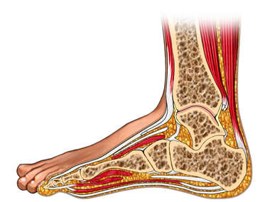 Lateral  Cut-away View of Foot and Ankle