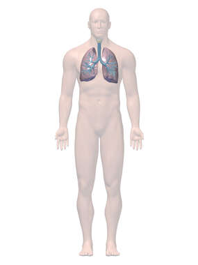 Anatomy of the Respiratory System, 3D Anterior Male