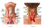 The Anatomy of the Thyroid Gland and the Surrounding Anatomy