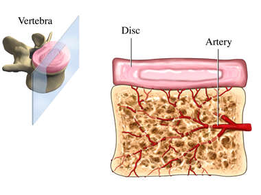 Blood Supply of the Intervetebral Disc