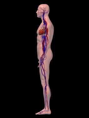 Lateral Male Circulatory System