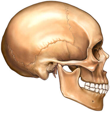 Adult Skull, Lateral View