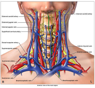 Anatomy of the Cervical Region (Neck)