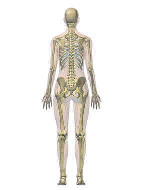 Posterior Female Figure with Skeleton and Nervous System