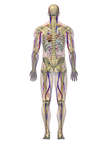 Anatomy of the Cardiovascular and Skeletal Systems with Nerves, 3D Posterior Male
