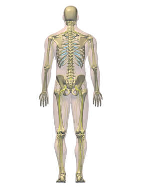 Anatomy of the Skeletal and Nervous Systems, 3D Posterior Male