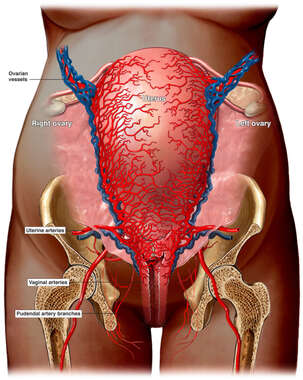 Vasculature of the Full Term Uterus