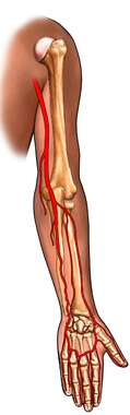 Bones and Arteries of the Arm: Posterior View