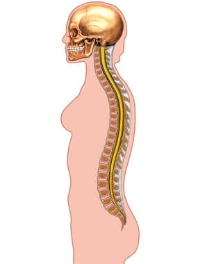 Spinal Column with Body Outline, Lateral View