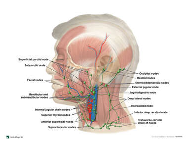 Lymph Vessels and Nodes of the Lateral Head and Neck