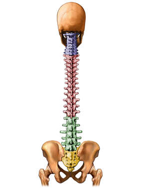 Skull and Spinal Column, Posterior View