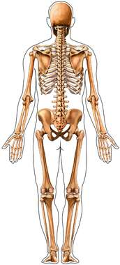 Male Figure Outline with Full Skeleton: Posterior View