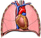 Organs of the Thorax: Anterior View