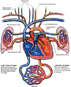 Anatomy of the Heart and Great Vessels
