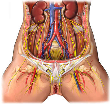 Nerves of the Female Pelvis