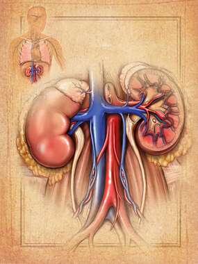Anatomy of the Kidneys