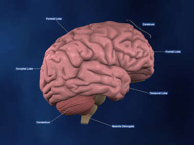 Right Lateral view of the Brain with labels