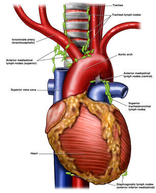 Heart Anatomy with Lymph Nodes