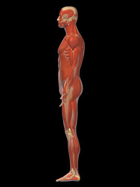 Lateral Male Muscular System