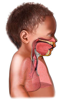 Respiratory System Anatomy of an Infant