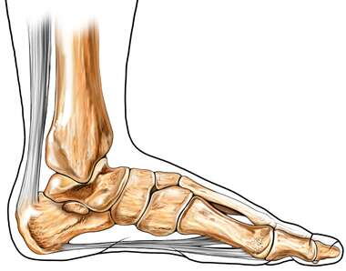 Achilles (Calcaneal) Tendon