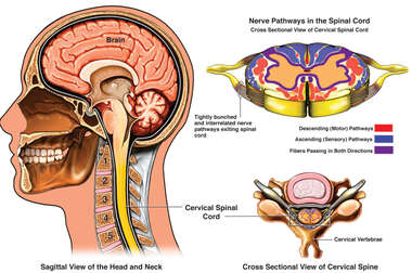 Nerve Pathways of Spinal Cord