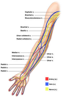 Anatomy of the Nerves, Arteries and Veins of the Arm (Upper Extremity)