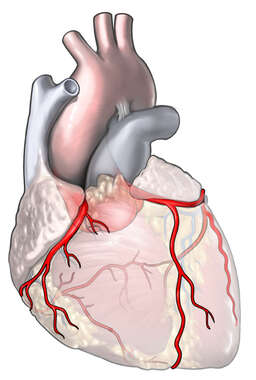 Coronary Arteries of the Heart