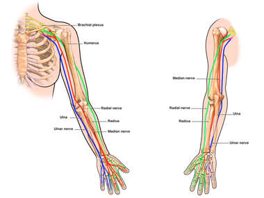 Nerves of the Left Arm