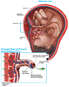 Maternal and Fetal Circulation