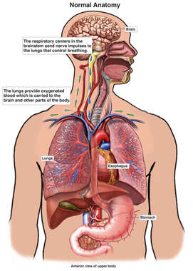 Normal Anatomy Involved in Respiration