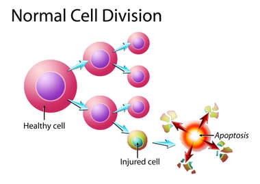 Normal Cell Division