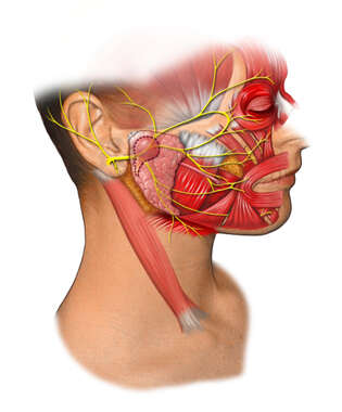 Lateral Anatomy of the Face
